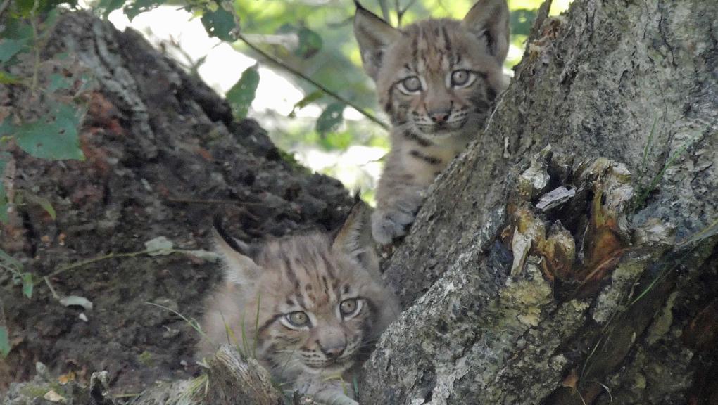 Jeunes lynx © MNHN - P. Roux