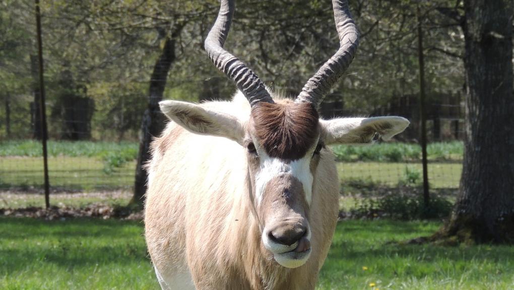 Addax à la réserve © MNHN - P. Roux