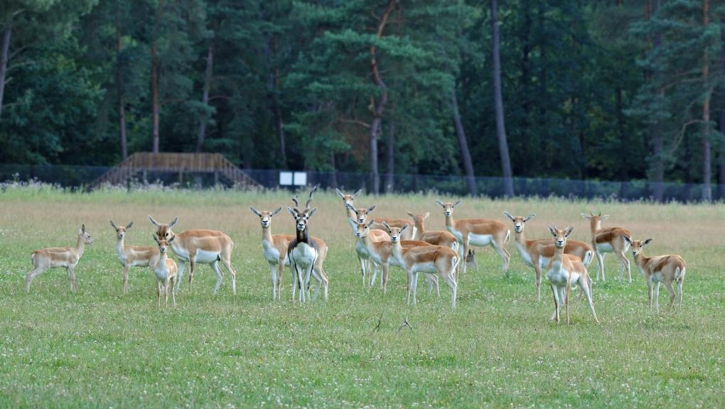 Antilopes cervicapres © MNHN - P. Roux