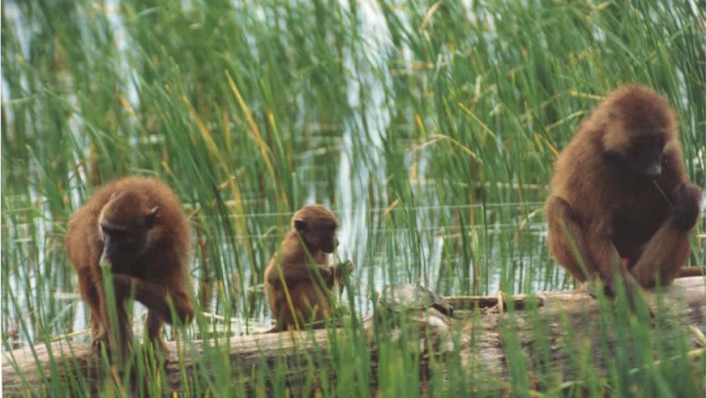 Babouins de Guinée © MNHN - P. Roux
