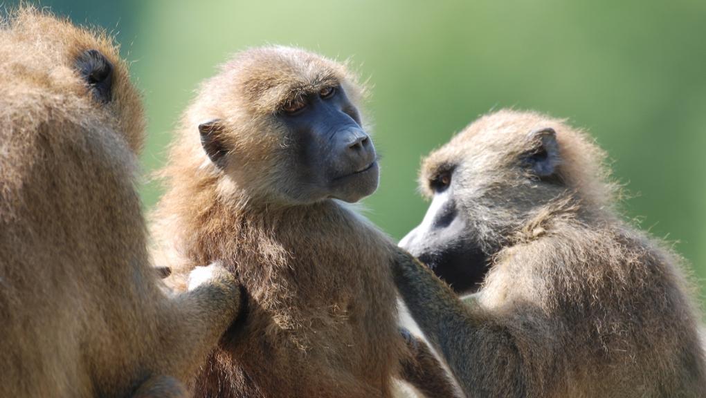 Babouins qui s'épouillent © MNHN - P. Roux