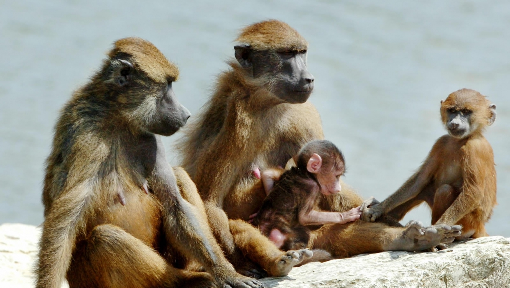 Babouins de Guinées © G. Proust