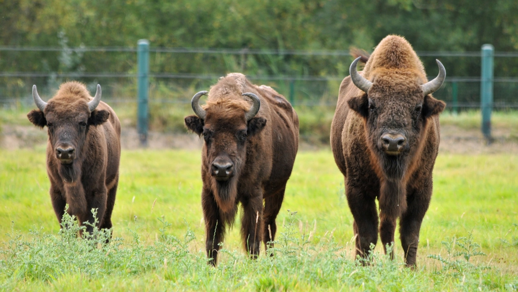 Bisons d'Europe © P. Roux