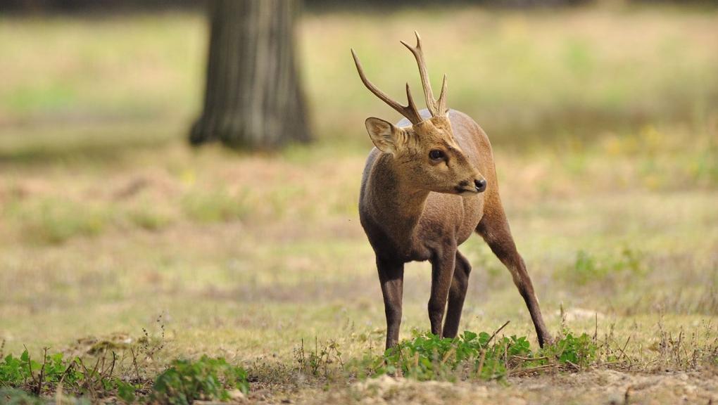Cerf cochon © MNHN - F-G Grandin