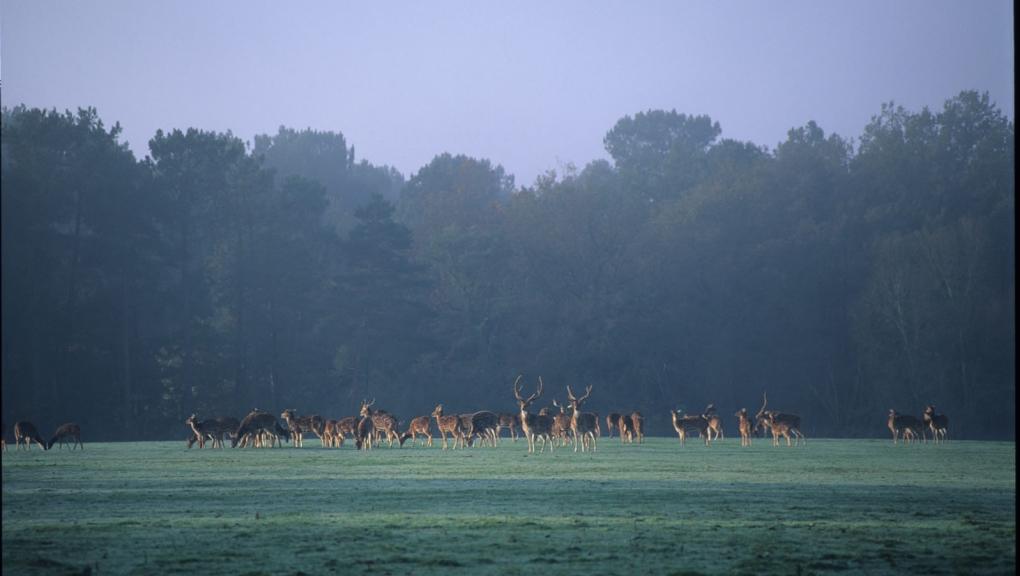 Cerfs axis à la Réserve Zoologique de la Haute-Touche © MNHN - F-G Grandin