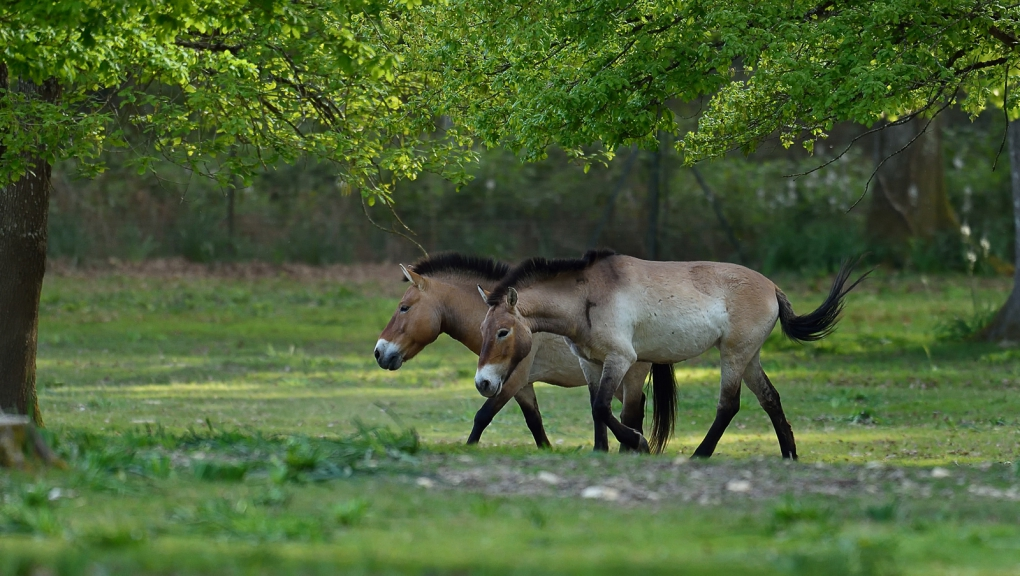 Chevaux de Przewalski © MNHN - F-G Grandin