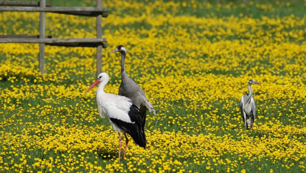 Cigogne blanche © MNHN - P. Roux
