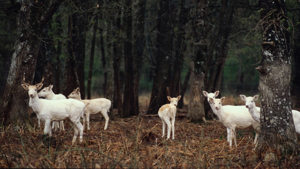Daims blancs © MNHN - F-G Grandin