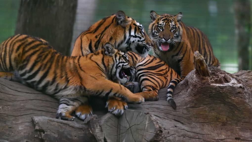 Tigres de Sumatra à la Réserve © MNHN - F-G Grandin