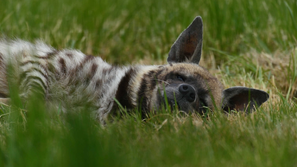 Hyène rayée © MNHN - F-G. Grandin