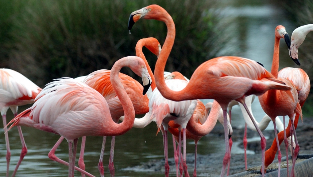 Flamants roses © G. Proust