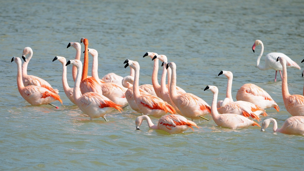 Flamants roses © MNHN - P. Roux