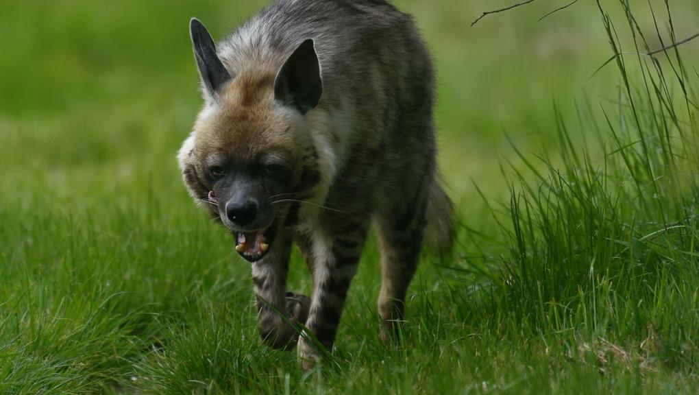 Hyène rayée à la Réserve zoologique de la Haute-Touche © MNHN - F-G Grandin