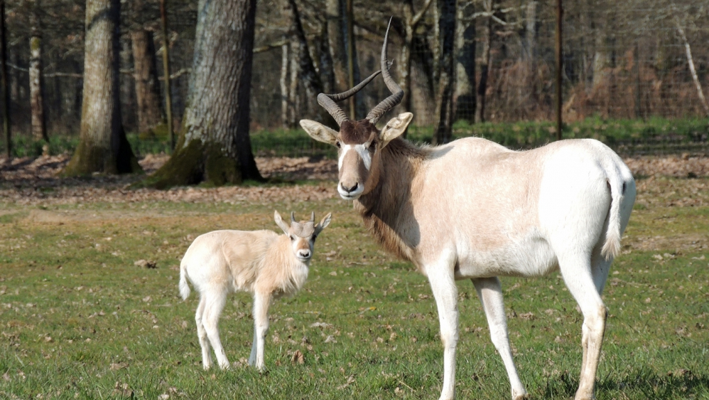 Jeune addax et sa mère © MNHN - P. Roux
