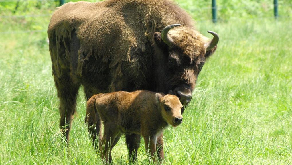 Jeune bison d'Europe © MNHN - P. Roux