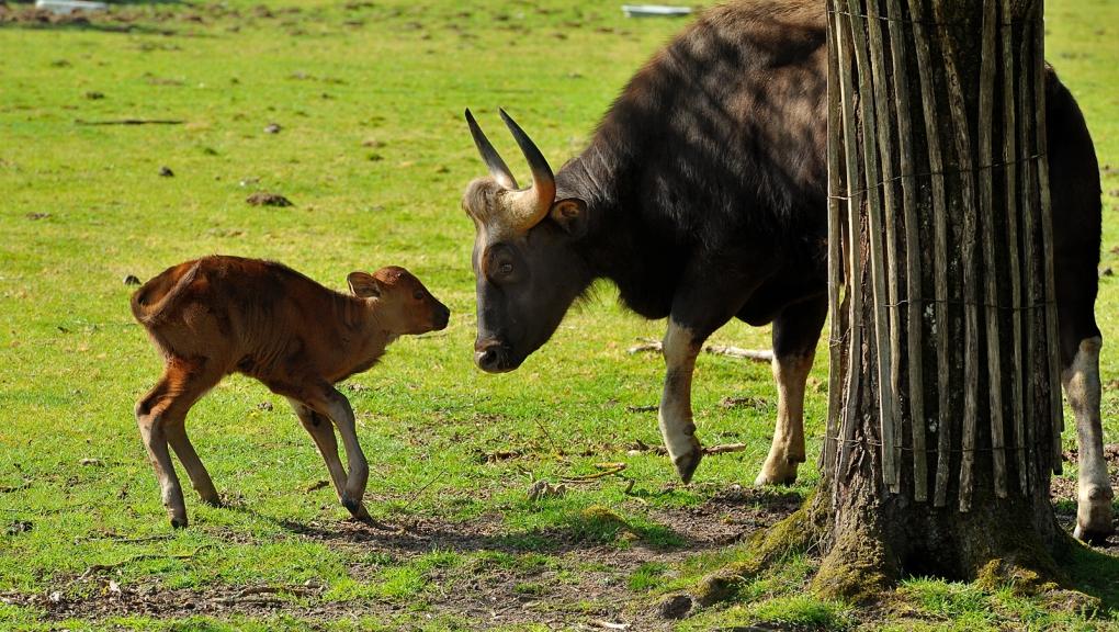 Jeune gaur © MNHN - F-G Grandin