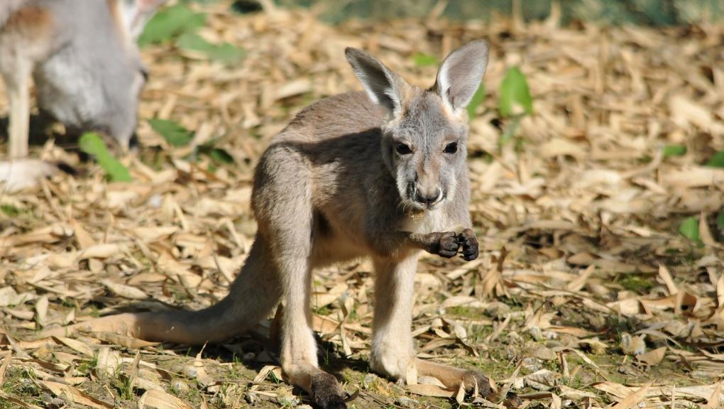 Jeune kangourou roux © MNHN - P. Roux