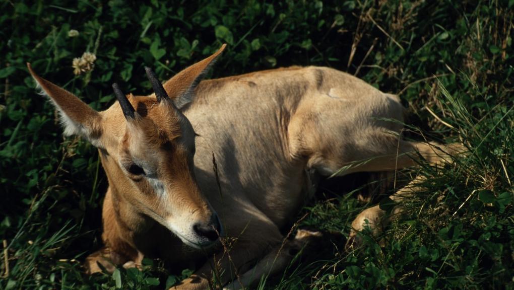 Jeune oryx gazelle © MNHN - F-G Grandin