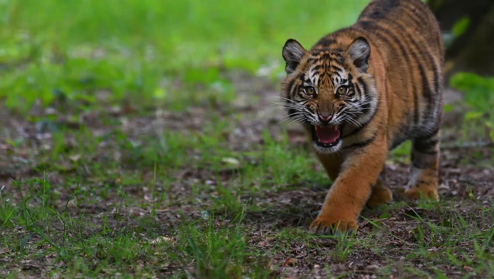 Jeune tigre de Sumatra © MNHN - F-G Grandin