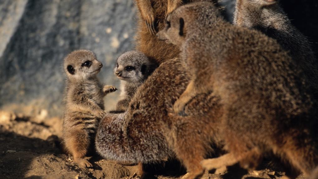 Jeunes suricates © MNHN - F-G Grandin