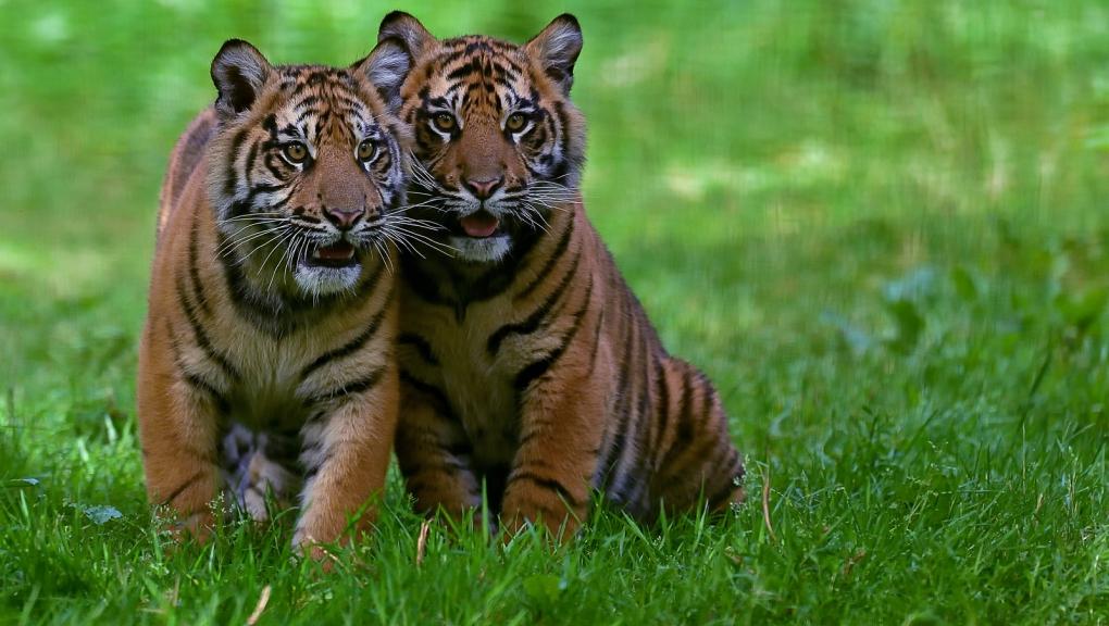 Jeunes tigres de Sumatra © MNHN - F-G Grandin