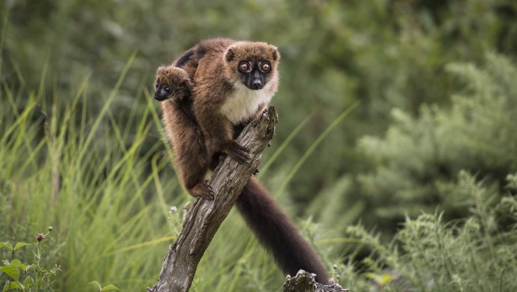 Lémur à ventre roux © MNHN - A. Iatzoura