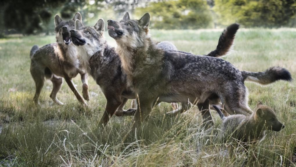 Loups d'Europe © MNHN - A. Iatzoura