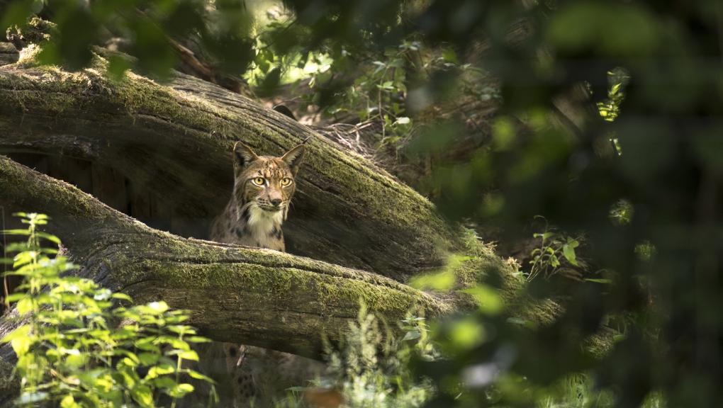 Lynx des Carpates © MNHN - A. Iatzoura
