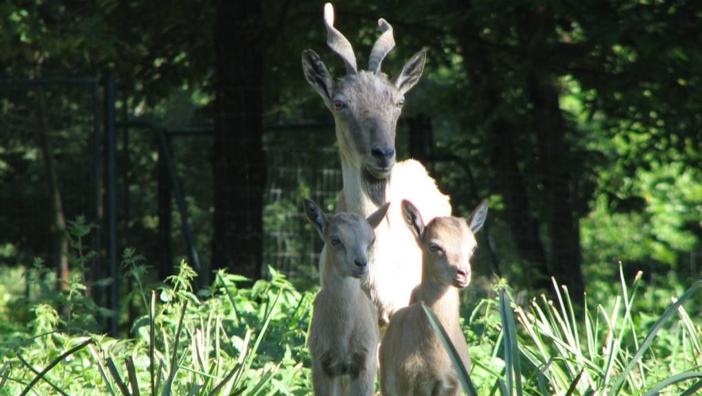 Markhor femelle avec ses petits © MNHN - P. Roux