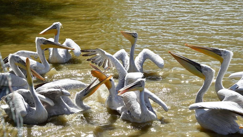 Pélicans frisés © MNHN - F-G Grandin