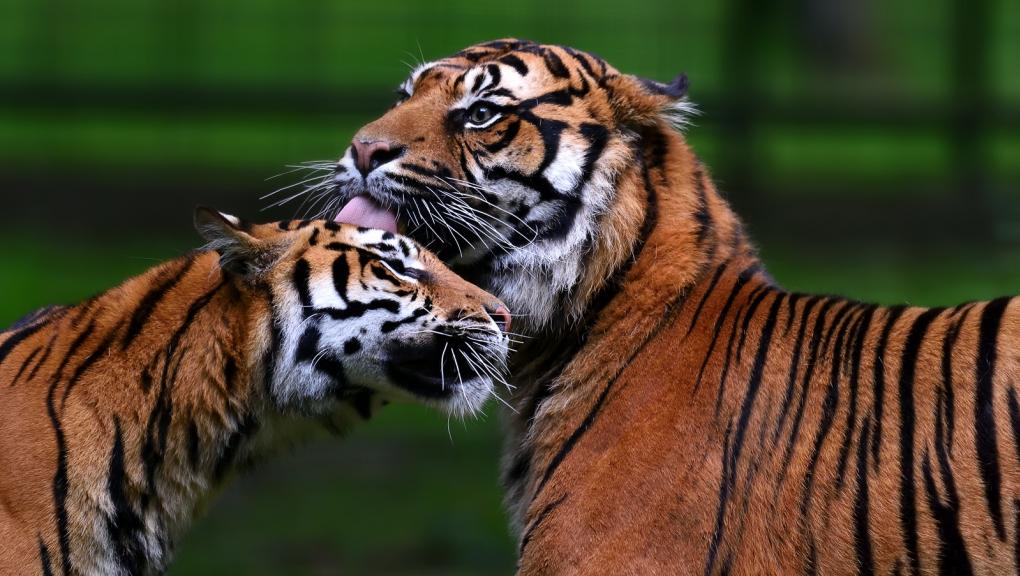 Tigres de Sumatra © MNHN - F-G Grandin
