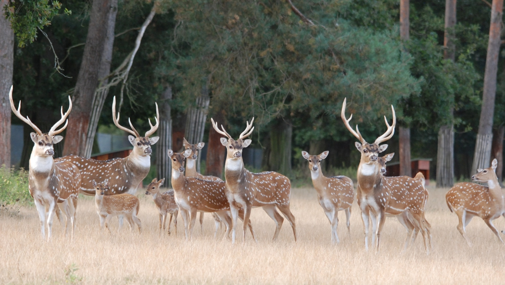 Troupeau de cerfs axis © MNHN - P. Roux