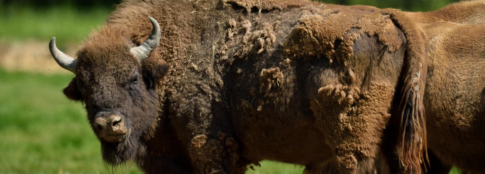 Bisons d'Europe © MNHN - F-G Grandin