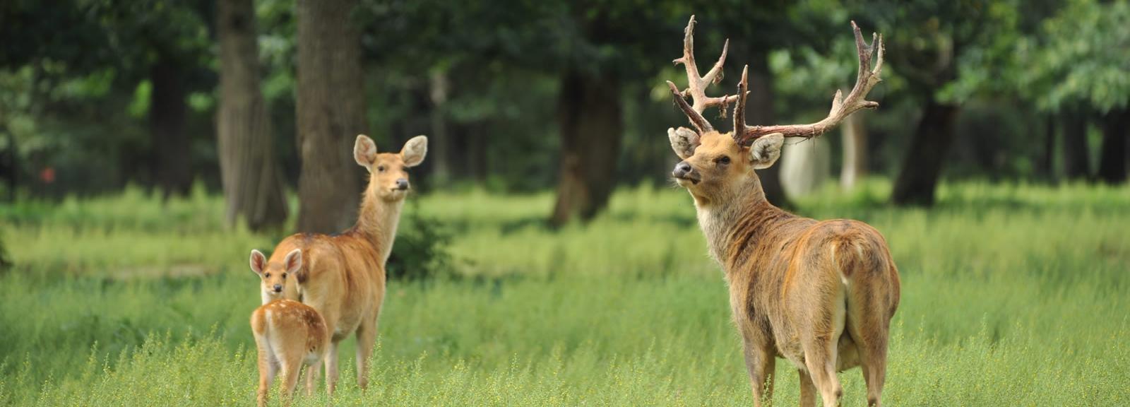 Cerfs de Duvaucel © MNHN - F-G Grandin