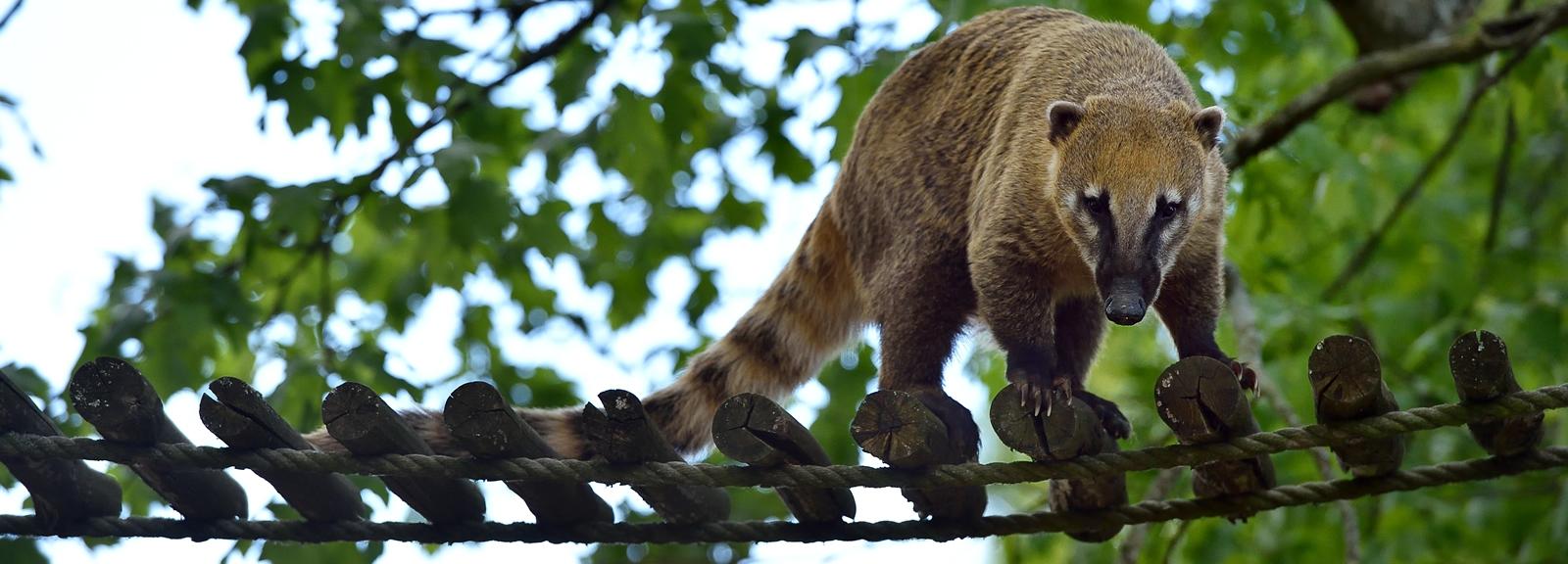 Coati roux © MNHN - F-G Grandin