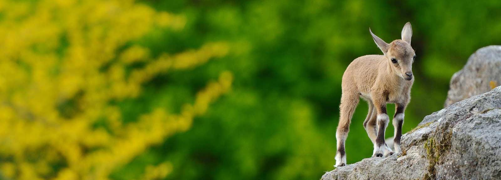 Jeune bouquetin de Nubie © MNHN - F-G Grandin