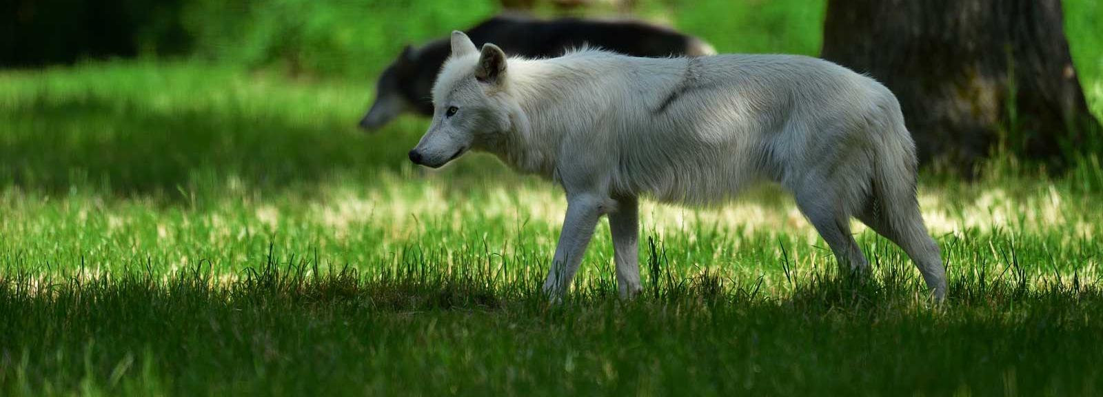 Loups de Mackenzie © MNHN - F-G Grandin