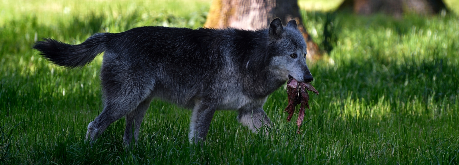 Loup de Mackensie © MNHN - F-G Grandin
