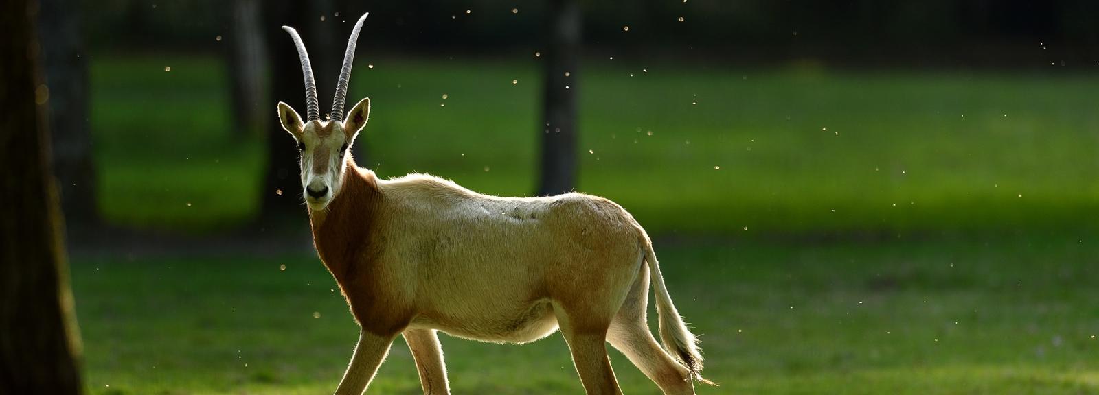 Oryx gazelles à la Réserve Zoologique de la Haute-Touche © MNHN - F-G Grandin