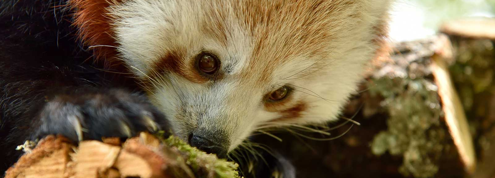 Panda roux à la Réserve Zoologique de la Haute-Touche © MNHN - F-G Grandin