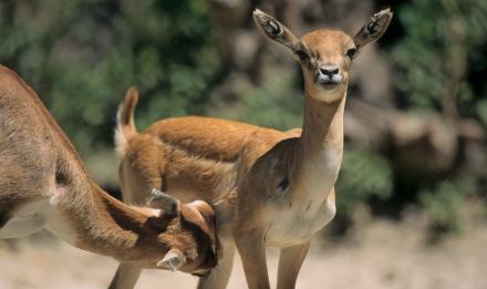 Antilope cervicapre © MNHN - F-G Grandin
