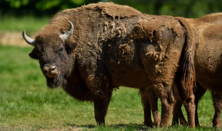 Bisons d'Europe © MNHN - F-G Grandin