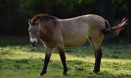 Cheval de Przewalski © MNHN - F-G Grandin