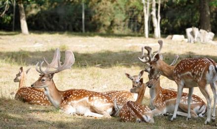 Daims mouchetés © MNHN - P. Roux
