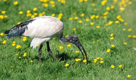 Ibis sacré © MNHN - P. Roux