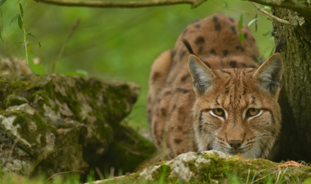 Lynx des Carpates © MNHN - F-G Grandin