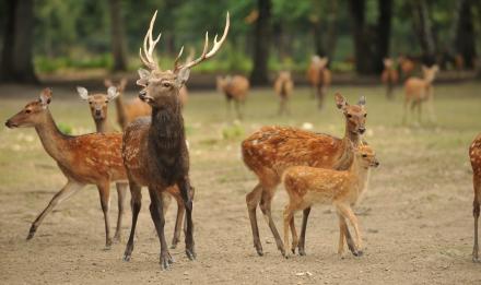 Sikas du Japon © MNHN - F-G Grandin