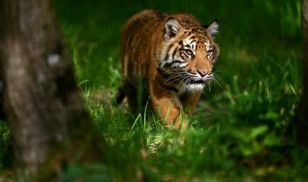 Tigre de Sumatra © MNHN - F-G Grandin