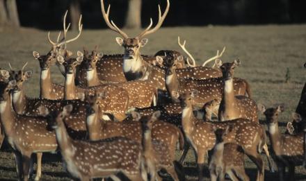 Troupeau de cerfs axis © MNHN - F-G Grandin