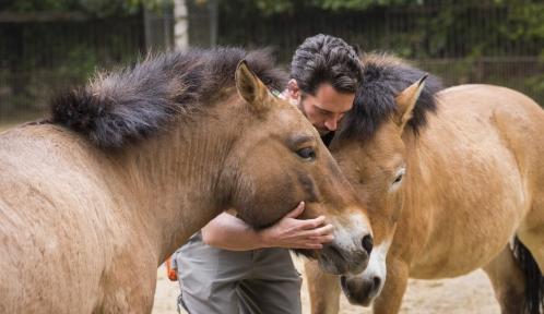 Soigneur avec les chevaux de Przewalski